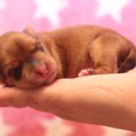 2019_01_14_HAVANESER_Welpen_Hundebabies_0021
