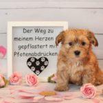 2019_01_14_HAVANESER_Welpen_Hundebabies_0199