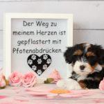 2019_01_14_HAVANESER_Welpen_Hundebabies_0203