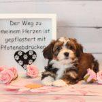 2019_01_14_HAVANESER_Welpen_Hundebabies_0206