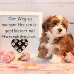 2019_01_14_HAVANESER_Welpen_Hundebabies_0208