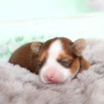 2019_01_14_HAVANESER_Welpen_Hundebabies_0001