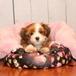 2019_01_14_HAVANESER_BOLONKA_Welpen_Hundebabies_0140