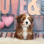 2019_01_14_HAVANESER_BOLONKA_Welpen_Hundebabies_0160