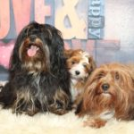2019_01_14_HAVANESER_BOLONKA_Welpen_Hundebabies_0162