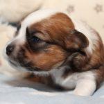 2019_01_14_HAVANESER_BOLONKA_Welpen_Hundebabies_0264