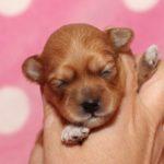 2019_01_14_HAVANESER_BOLONKA_Welpen_Hundebabies_0265