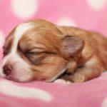 2019_01_14_HAVANESER_BOLONKA_Welpen_Hundebabies_0266