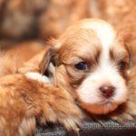 2019_01_14_HAVANESER_BOLONKA_Welpen_Hundebabies_0267