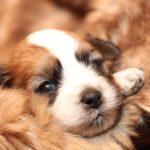 2019_01_14_HAVANESER_BOLONKA_Welpen_Hundebabies_0268