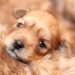 2019_01_14_HAVANESER_BOLONKA_Welpen_Hundebabies_0270