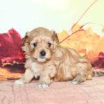 2019_01_14_HAVANESER_BOLONKA_Welpen_Hundebabies_0282