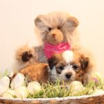 2019_01_14_HAVANESER_BOLONKA_Welpen_Hundebabies_0286