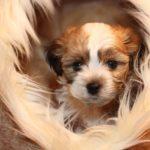 2019_01_14_HAVANESER_BOLONKA_Welpen_Hundebabies_0289