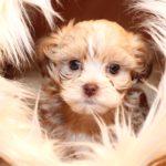 2019_01_14_HAVANESER_BOLONKA_Welpen_Hundebabies_0290