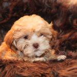 2019_10_HAVANESER_BOLONKA_Welpen_Hundebabies_0312