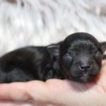 2019_10_HAVANESER_BOLONKA_Welpen_Hundebabies_0317