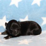 2019_10_HAVANESER_BOLONKA_Welpen_Hundebabies_0318