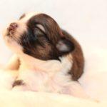 2019_10_HAVANESER_BOLONKA_Welpen_Hundebabies_0323