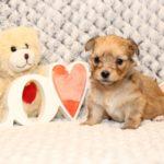 2019_10_HAVANESER_BOLONKA_Welpen_Hundebabies_0330