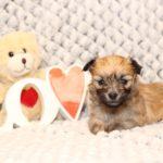 2019_10_HAVANESER_BOLONKA_Welpen_Hundebabies_0332