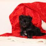 2019_10_HAVANESER_BOLONKA_Welpen_Hundebabies_0340