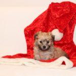 2019_10_HAVANESER_BOLONKA_Welpen_Hundebabies_0344