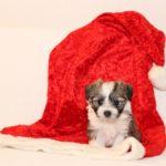2019_10_HAVANESER_BOLONKA_Welpen_Hundebabies_0345