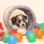 2019_10_HAVANESER_BOLONKA_Welpen_Hundebabies_0353