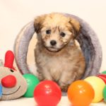2019_10_HAVANESER_BOLONKA_Welpen_Hundebabies_0357