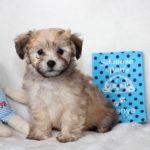 2019_10_HAVANESER_BOLONKA_Welpen_Hundebabies_0365