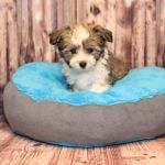 2019_10_HAVANESER_BOLONKA_Welpen_Hundebabies_0371