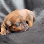 2020_10_HAVANESER_BOLONKA_Welpen_Hundebabies_0371