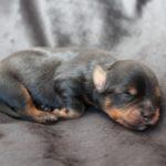 2020_10_HAVANESER_BOLONKA_Welpen_Hundebabies_0378