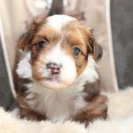 2020_10_HAVANESER_BOLONKA_Welpen_Hundebabies_0406