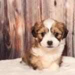 2020_10_HAVANESER_BOLONKA_Welpen_Hundebabies_0446