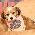 2020_10_HAVANESER_BOLONKA_Welpen_Hundebabies_0490