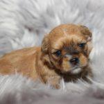 2020_10_HAVANESER_BOLONKA_Welpen_Hundebabies_0498