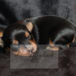 2021_05_HAVANESER_BOLONKA_Welpen_Hundebabies_0621