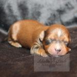 2021_05_HAVANESER_BOLONKA_Welpen_Hundebabies_0622