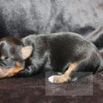 2021_05_HAVANESER_BOLONKA_Welpen_Hundebabies_0623