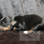 2021_05_HAVANESER_BOLONKA_Welpen_Hundebabies_0624