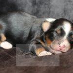 2021_05_HAVANESER_BOLONKA_Welpen_Hundebabies_0625