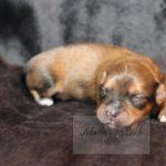 2021_05_HAVANESER_BOLONKA_Welpen_Hundebabies_0627