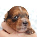 2021_05_HAVANESER_BOLONKA_Welpen_Hundebabies_0630