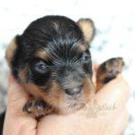2021_05_HAVANESER_BOLONKA_Welpen_Hundebabies_0631