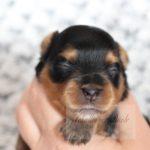 2021_05_HAVANESER_BOLONKA_Welpen_Hundebabies_0634