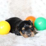 2021_05_HAVANESER_BOLONKA_Welpen_Hundebabies_0639