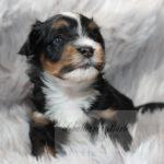 2021_05_HAVANESER_BOLONKA_Welpen_Hundebabies_0643