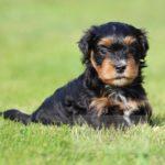 2021_05_HAVANESER_BOLONKA_Welpen_Hundebabies_0651
